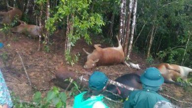 Photo of Quảng Nam : Nuôi được đàn bò ăn Tết, người dân khổ sở chống lũ còn gặp trận sét khiến 7 con chết la liệt giữa rừng