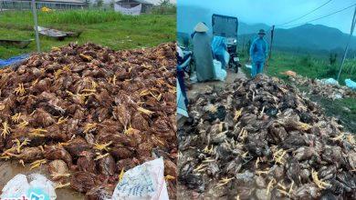 Photo of Chủ nhân 10.000 con gà bị nước lũ dìm chết ở Nghệ An: 'Định vài hôm nữa bán gà rồi trả nợ, giờ mất trắng tất cả'