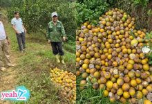 Photo of Xót xa nhìn hàng chục tấn cam rụng tả tơi, thối đầy vườn sau mưa lũ ở Nghệ An