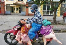 Photo of Giá thịt lợn dịp Tết Nguyên đán sẽ ra sao?