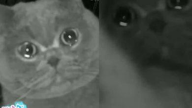 Photo of Bị bỏ ở nhà 1 mình suốt dịp tết, chú mèo vừa cào camera vừa rưng rưng nước mắt gọi chủ