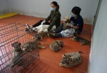 Photo of Sau vụ giải cứu 17 cá thể hổ: 14 tổ chức bảo tồn tại Việt Nam gửi thư ngỏ, mong muốn tăng cường rà soát, xử lý các hành vi nuôi nhốt động vật hoang dã