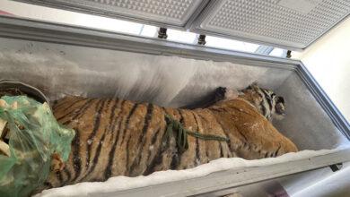Photo of Mở tủ lạnh trong nhà của người đàn ông phát hiện bên trong là 1 con hổ 160kg